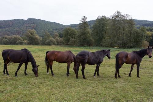 Pferde vor der Glane-Muendung