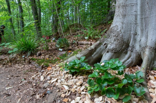 Pfroepflinge im Biotop