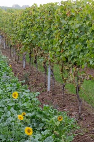 Sonnenblumen an Weinberg
