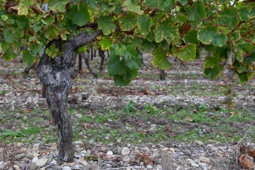 Weinstock auf Kiesboden