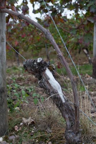 Weinstock mit Bogen