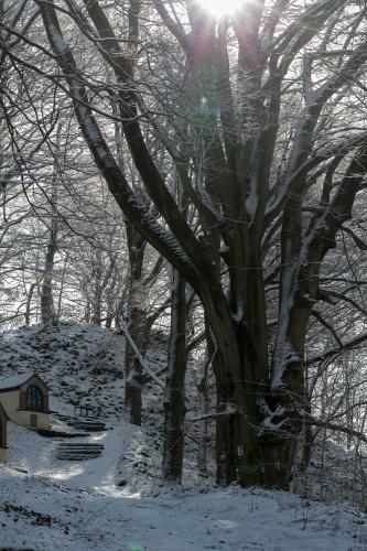 Hutebuche auf dem Battenstein