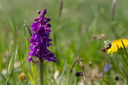Bluete, Maennliche Knabenkraut (Orchis mascula)