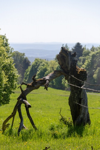 Toter Kirschbaum mit Rhoenblick