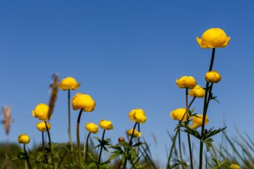 Trollblumen vor Himmel