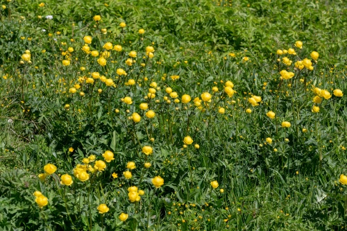 Trollblumen- Wiese