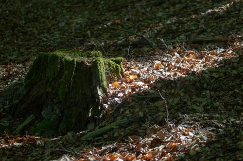 Lichtpruetze an moosigem Baumstumpf