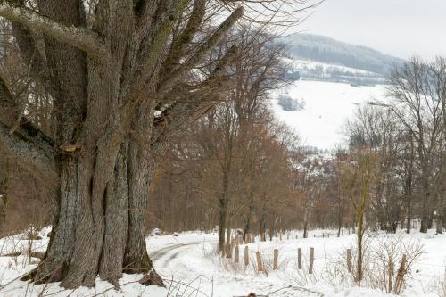 Reste Lindenallee Baum 1-2