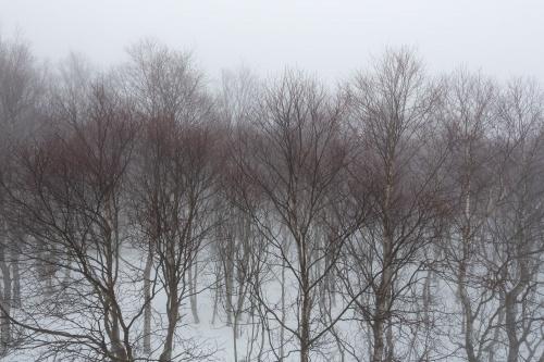 Fruehlingsschimmer in den Birken