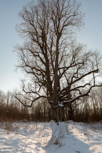 Reste Lindenallee Baum 3