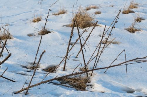 Dornen im Schnee