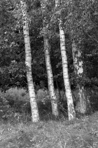 Vier Birken