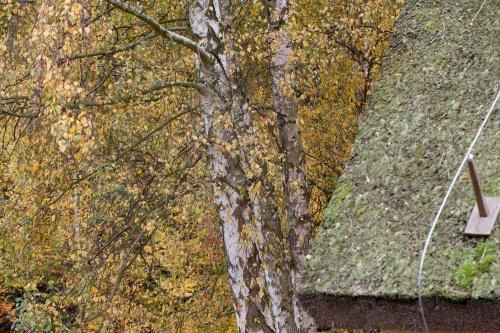 Birken und Dach auf Vilm