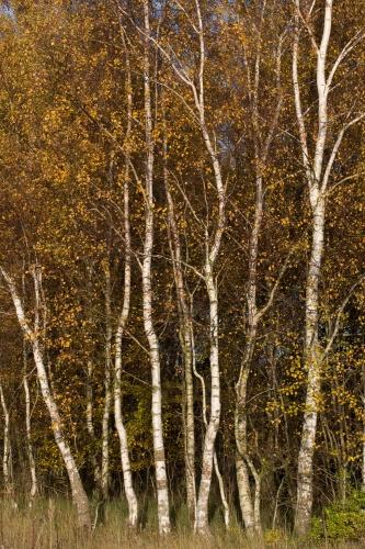 Birkenwaeldchen