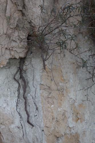 Sanddorn am Kliff