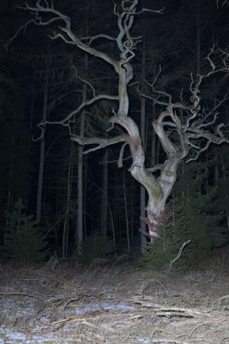 Tote Huteeiche in kalter Winternacht