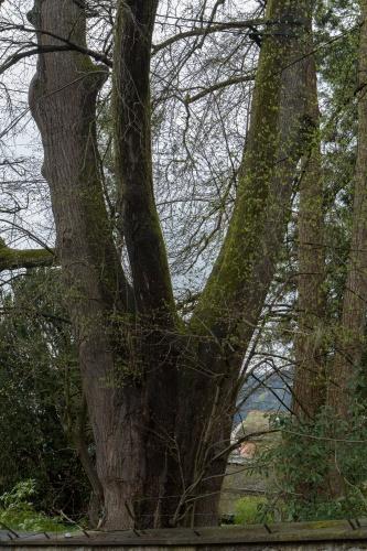 Linde unterhalb der Martinskapelle Staemme