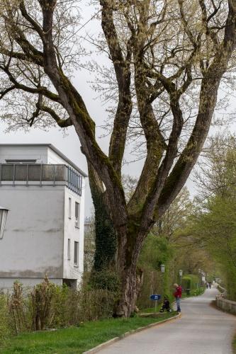 Schwarz-Pappel an der Bregenzer Ach Staemme