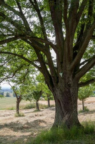 Speierling Naturdenkmal