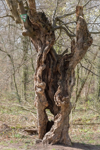 Schneitelbuche im Wald in Sprendlingen - Hohler Stamm